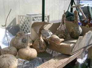 The gourds are almost completely dried, which is a good thing because I'll need the space soon for starting seeds.